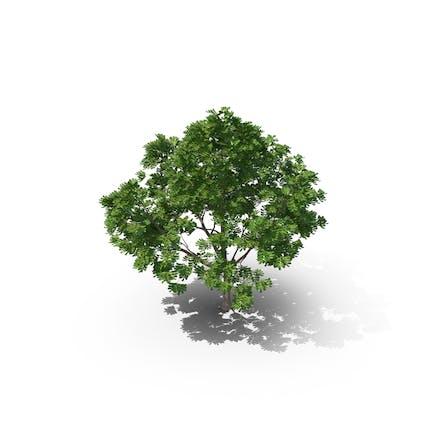 Tuckeroo-Baum aus Karottenholz