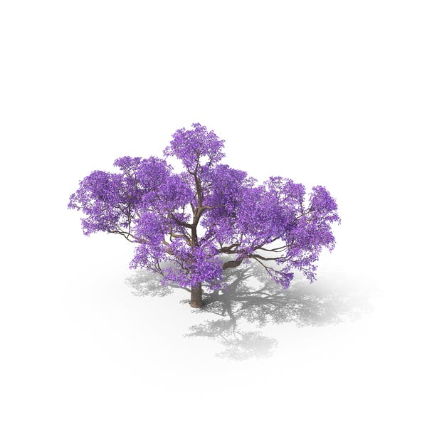 Thumbnail for Jacaranda Tree