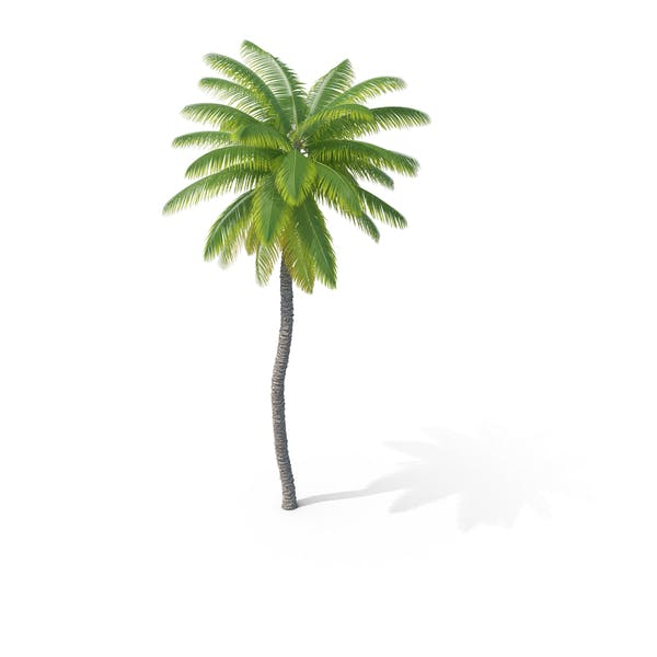 Thumbnail for Coconut Palm Tree