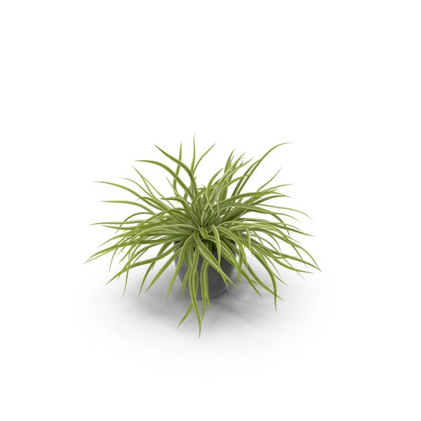 Thumbnail for Potted Spider Plant