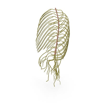Нервная система туловища человека