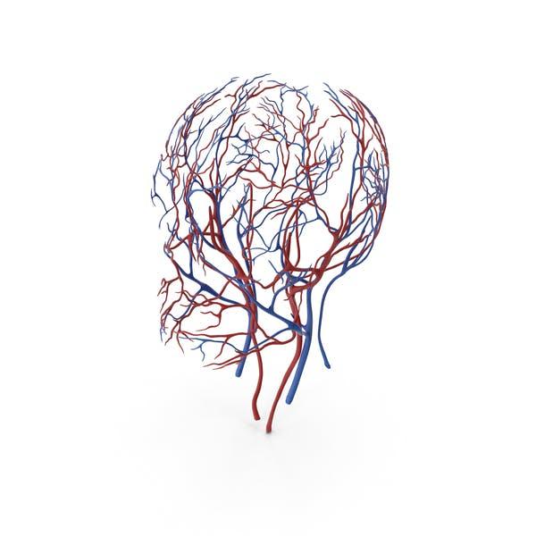 Menschlicher Kopf Herz-Kreislauf