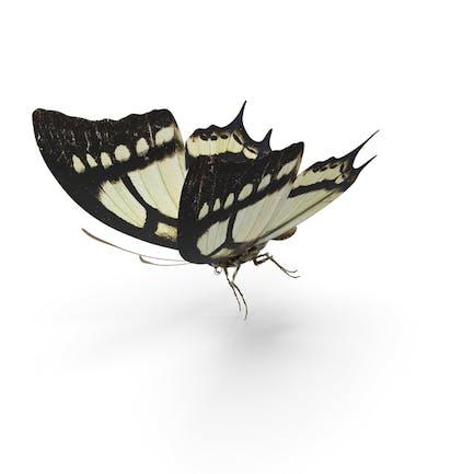 Schmetterling Papilio Multicaudata