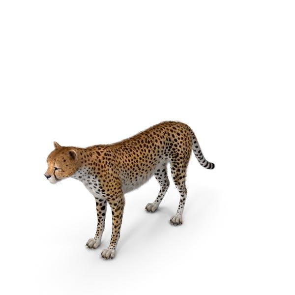 Cheetah with Fur
