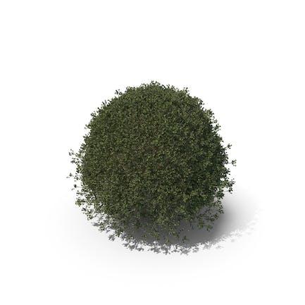 Pflanze Englische Holly