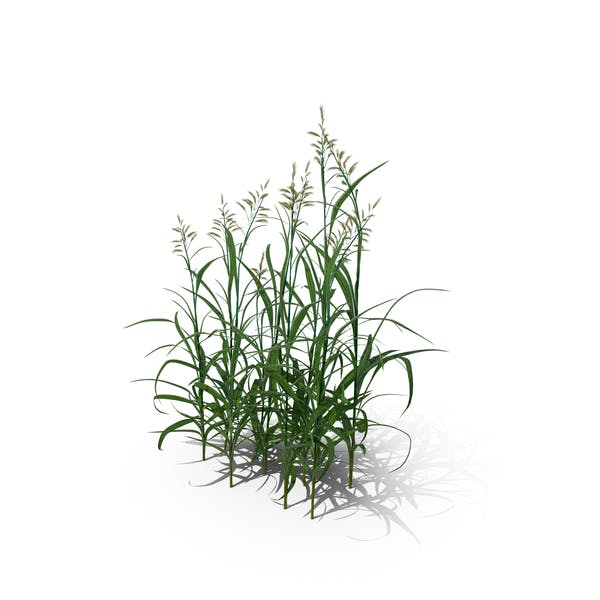 Thumbnail for Reed Canary Grass (Phalaris Arundinacea)