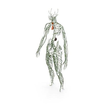 Sistema Linfático Humano Cuerpo Completo