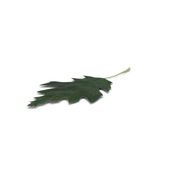 Thumbnail for Oak Leaf