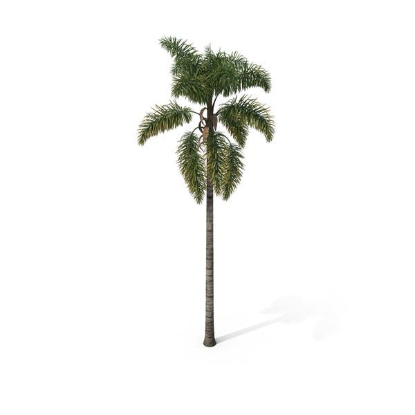 Palm Tree Syagrus Sancona