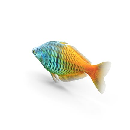 Boesemani Regenbogenfisch