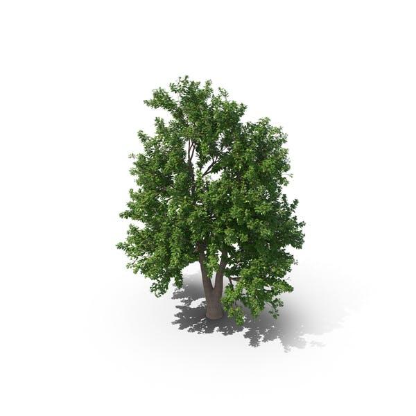 Thumbnail for Alder Tree