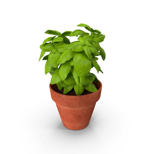 Thumbnail for Fresh Basil Herb in a Pot
