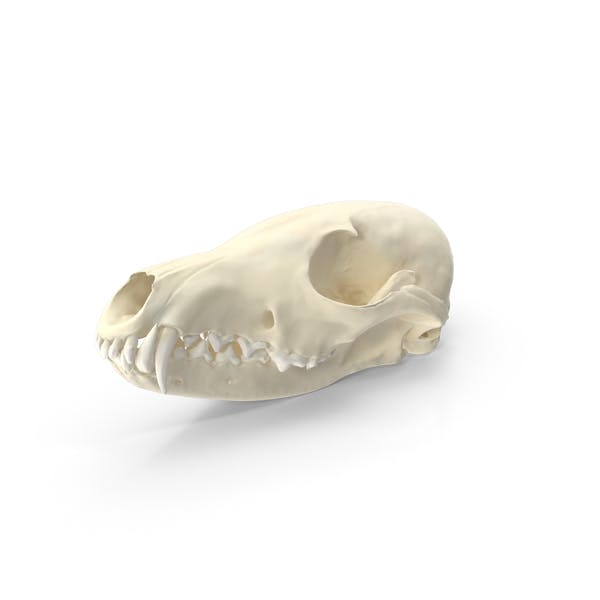 Red Fox Skull With Jaw
