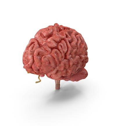 Sección Anatomía Cerebral Humano