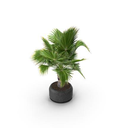 Brahea Palm