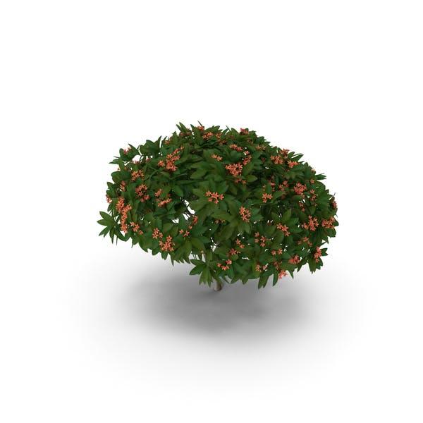 Thumbnail for Plumeria Frangipani Tree Red Flowers