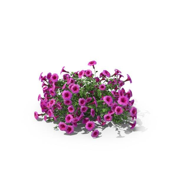 Thumbnail for Petunia