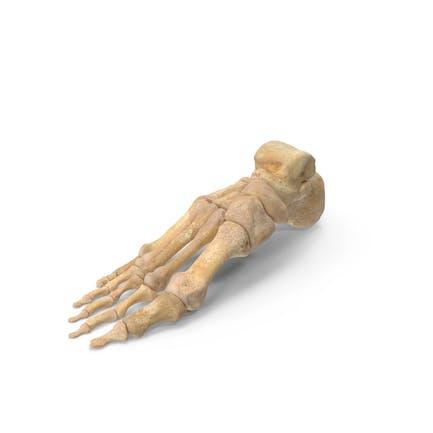 Anatomía de los huesos del pie humano