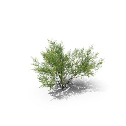 Plant Cytisus Scoparius