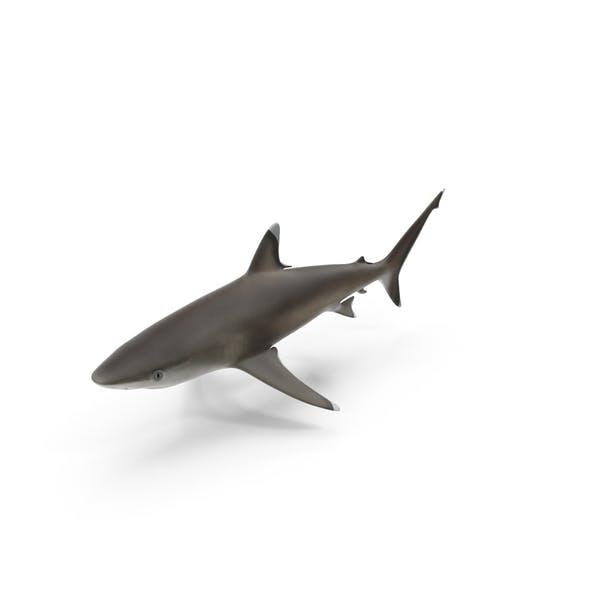 Thumbnail for Silvertip Shark