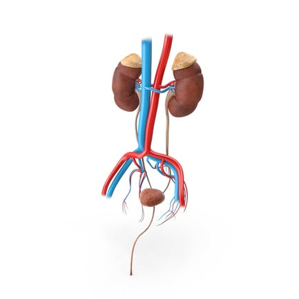Male Excretory System