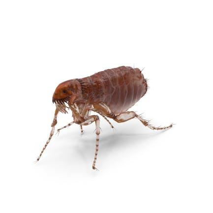 Pose para caminar pulgas