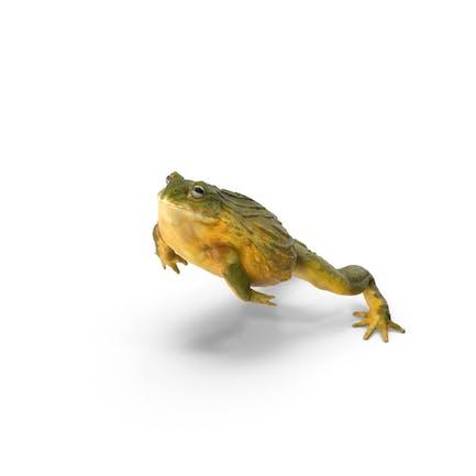 Afrikanischer Bullfrosch