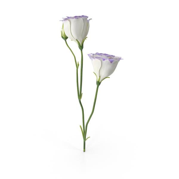 Thumbnail for Eustoma White Purple