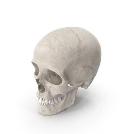 Cráneo masculino humano (craneal) con dientes blancos