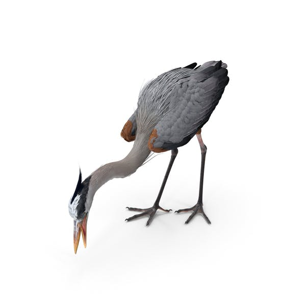 Great Blue Heron Standing Pose