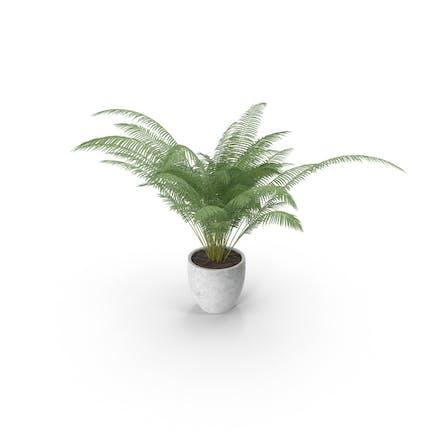 Areca Palm Small