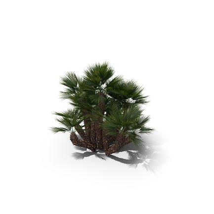 Palme Chamaerops Humilis