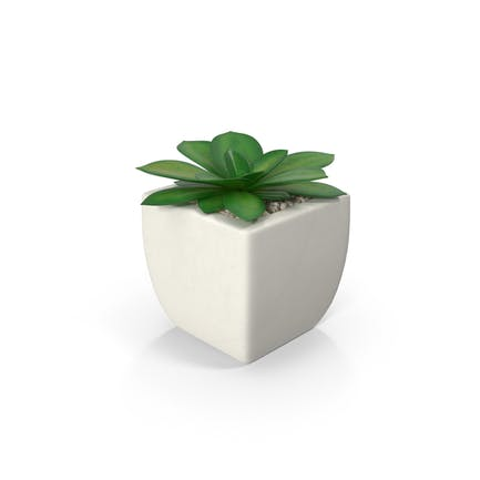 Potted Succulent Plant