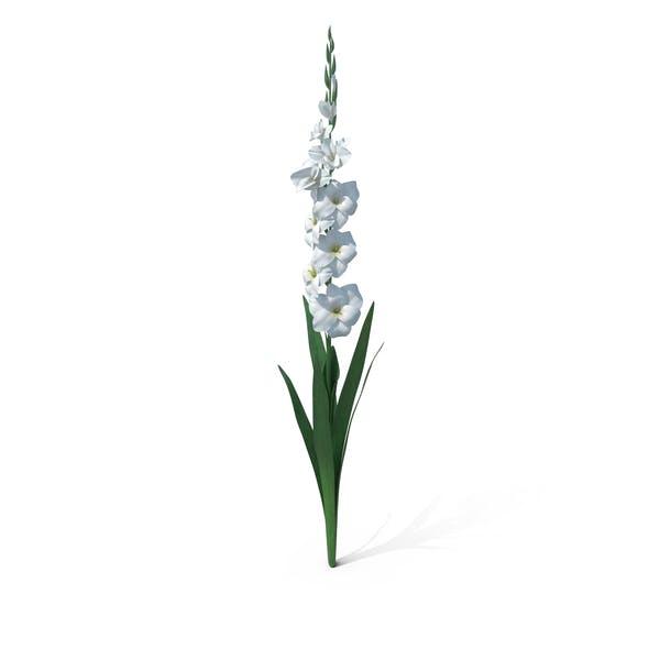 Thumbnail for Gladiolus