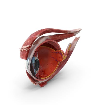 Querschnitt des rechten Teils des menschlichen Auges