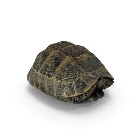 Concha de tortuga