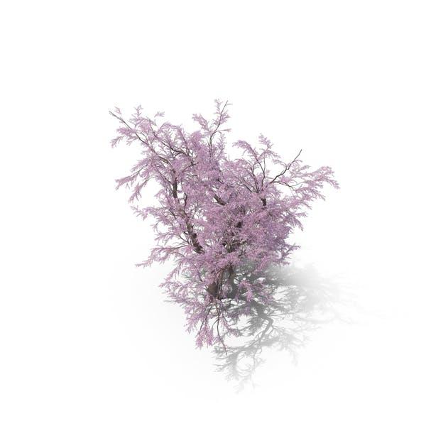 Sakura Big Lilac