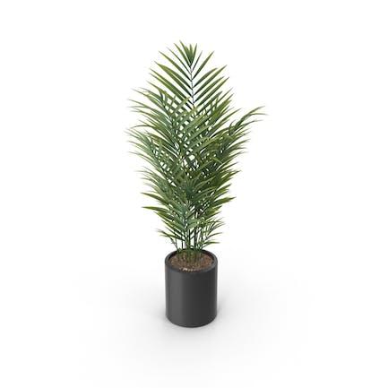 Topfpalmpflanze