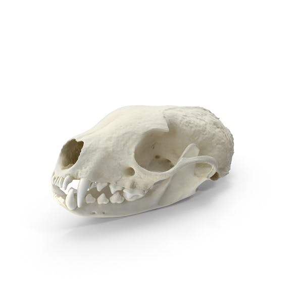 Thumbnail for White Breasted Marten Skull and Jaw