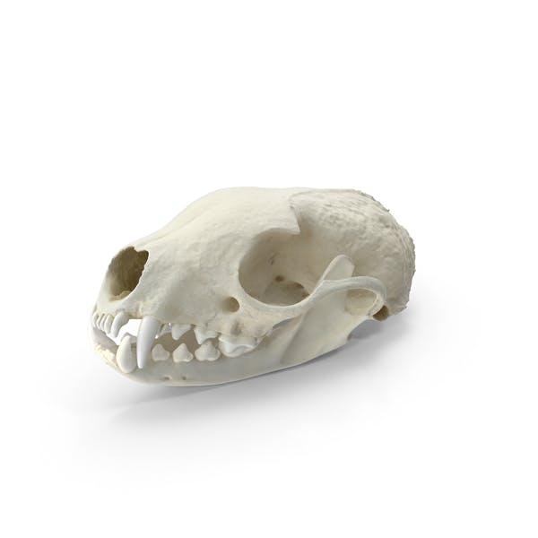 Белобортный череп куница и челюсть