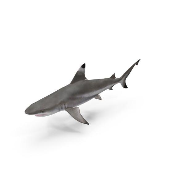 Thumbnail for Blacktip Reef Shark