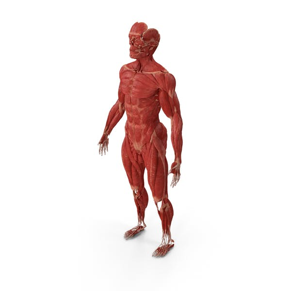 Male Muscular System Full Body