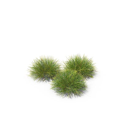 Festuca Gras
