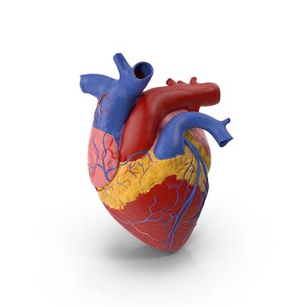Modelo de plástico anatomía del corazón Medicina