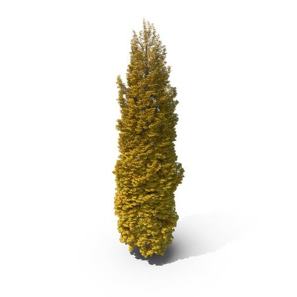 Thumbnail for Poplar Tree Autumn
