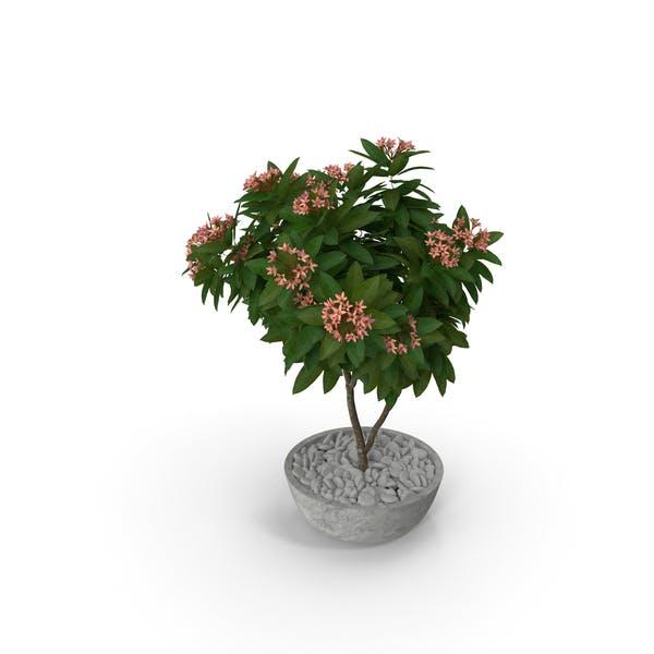 Flower Pot Plumeria Pink