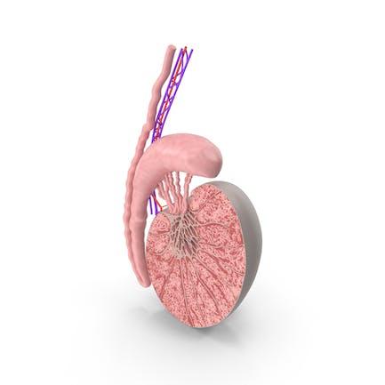 Anatomía de los testículos