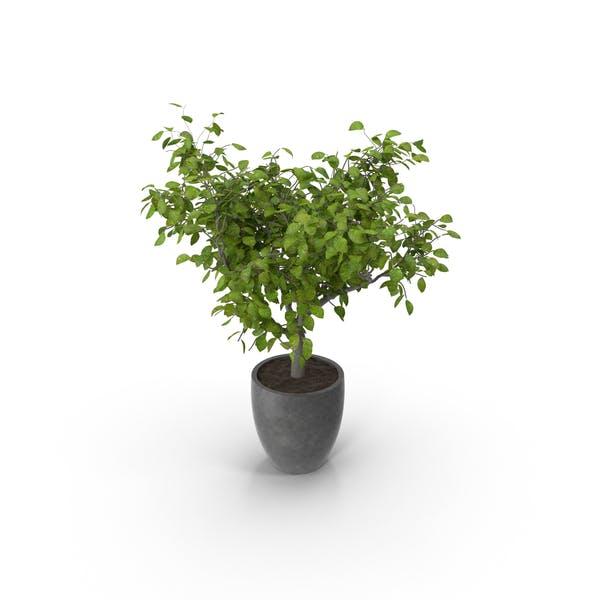 Thumbnail for Potted Lemon Tree