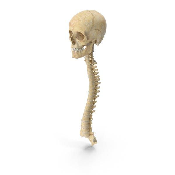 Huesos de la columna vertebral humana mujer cráneo y mandíbula anatomía con discos intervertibral