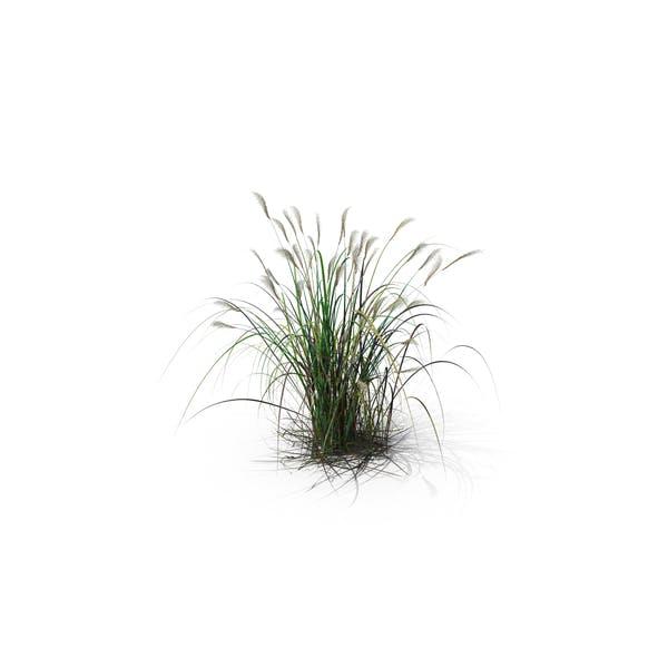 Thumbnail for Amur Silver-Grass